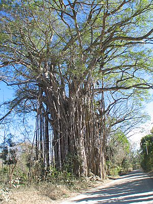 The Cabuya Ficus Tree